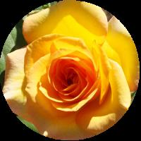 yellowrose-circle